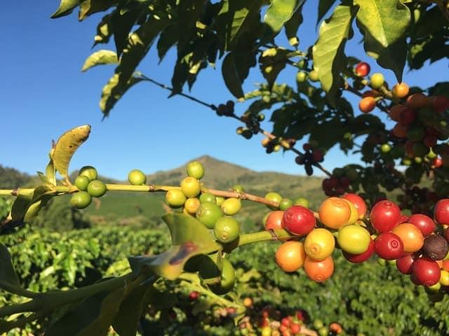 brazilian coffee seeds