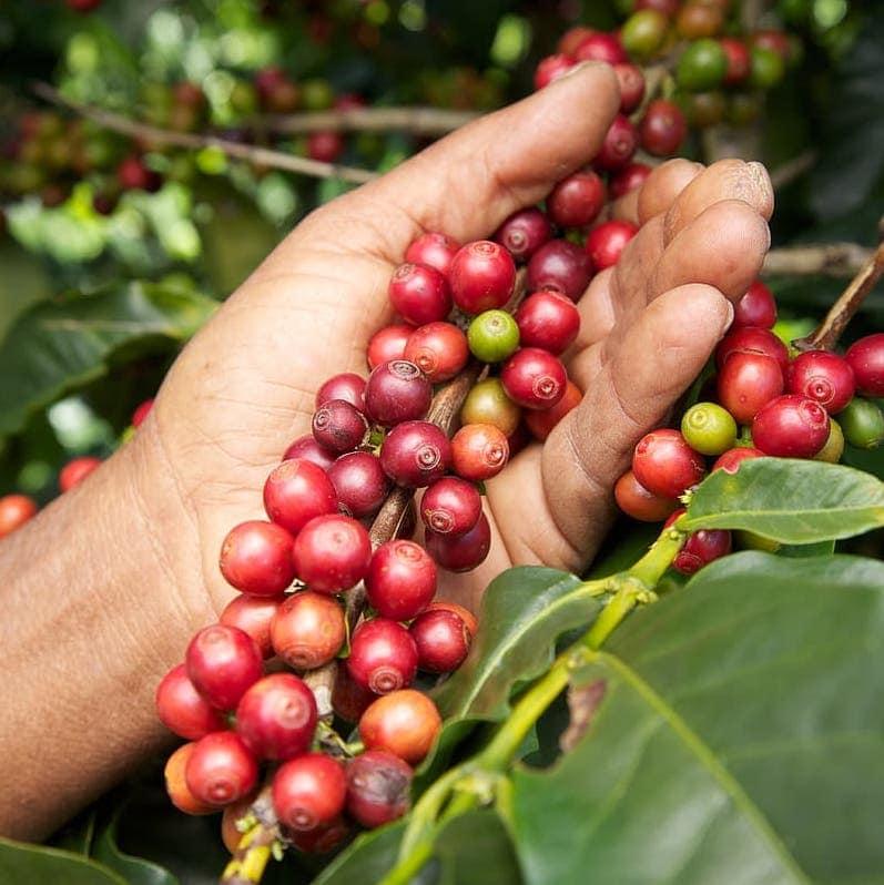 coffee cherries El Salvador