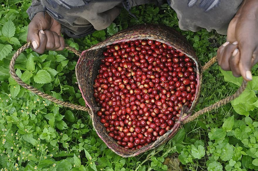 Fresh coffee cherries Ethiopia