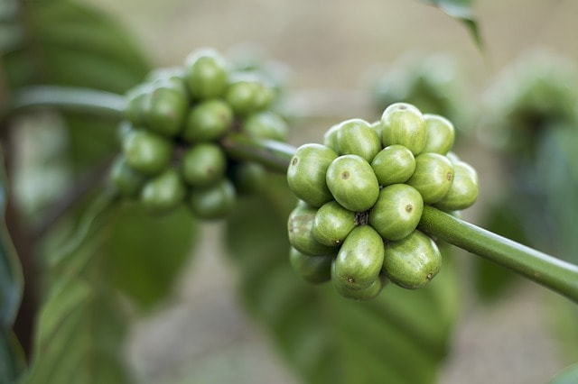 sumatran coffee plant