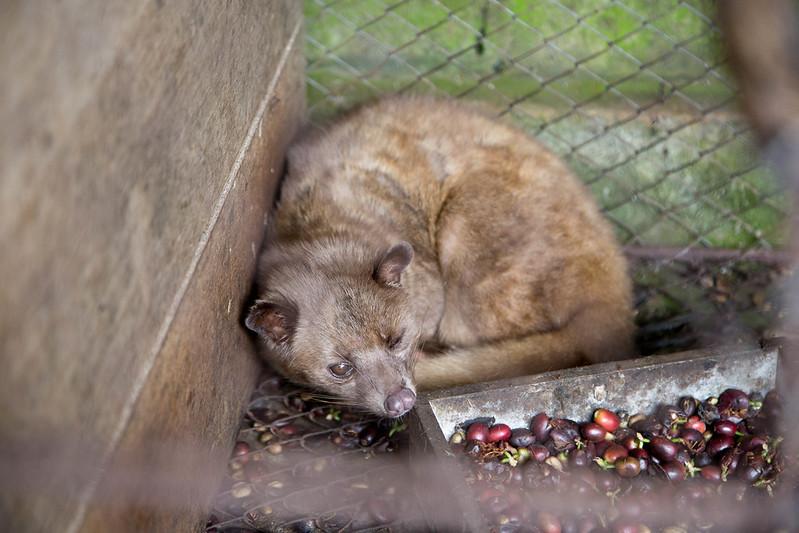 Kopi Luwak civet in cage