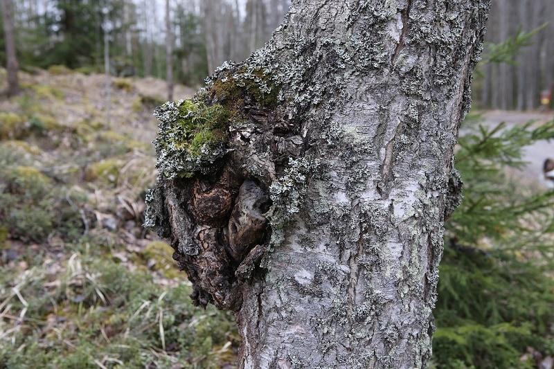 birch chaga mushroom pixabay