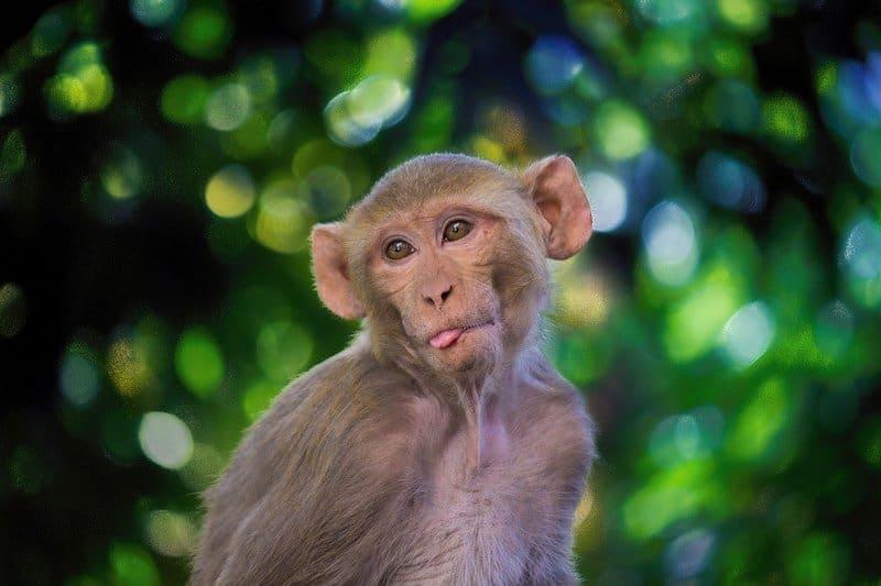 monkey poop coffee