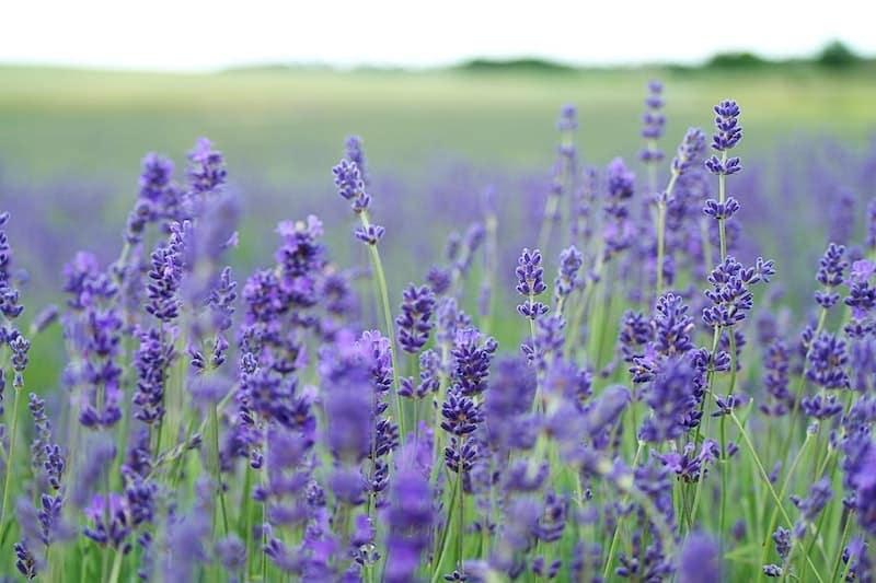 lavender plants for syrup