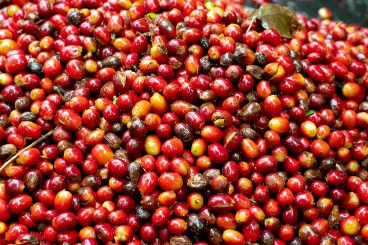 Geisha Coffee Cherries