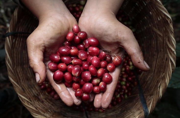 harvesting coffee cherries