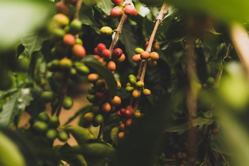 Hawaii Kona coffee plants