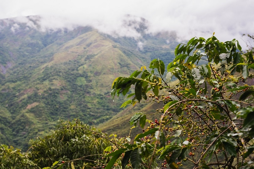 کافه-گیاه-در-کوههای-پرو-عکس_جهان_شوتراستاک
