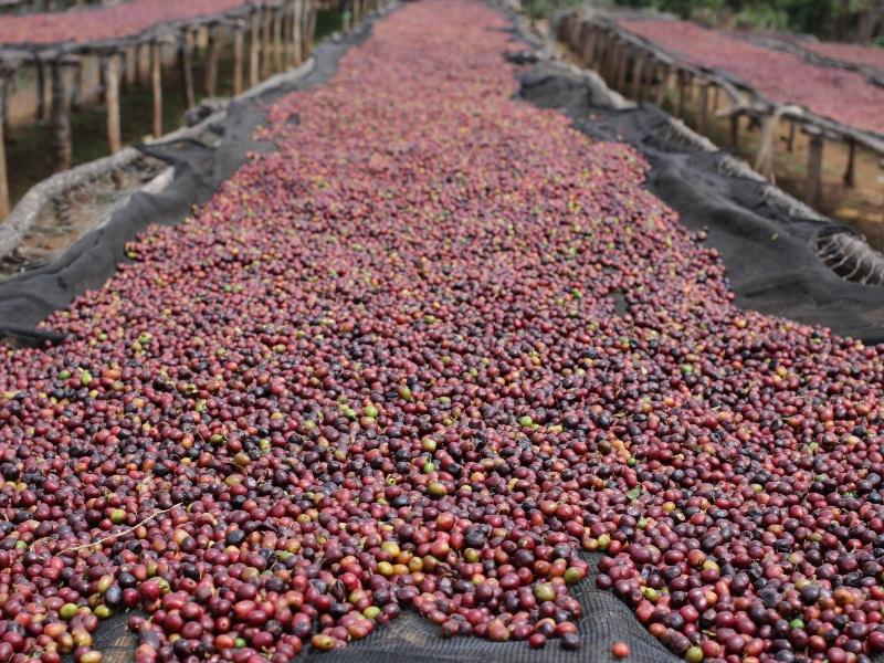 dry processed coffee cherries