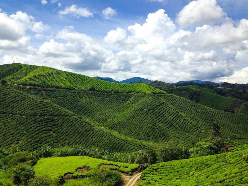 مزرعه های کامرون هایلندز در مالزی