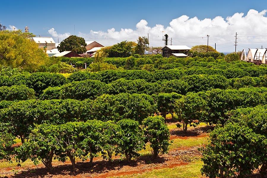 مزارع قهوه در مائویی ، هاوایی