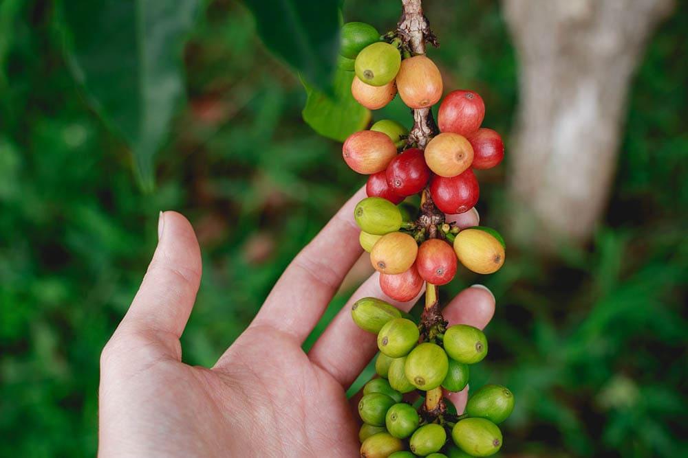 میوه قهوه را در دست دارد