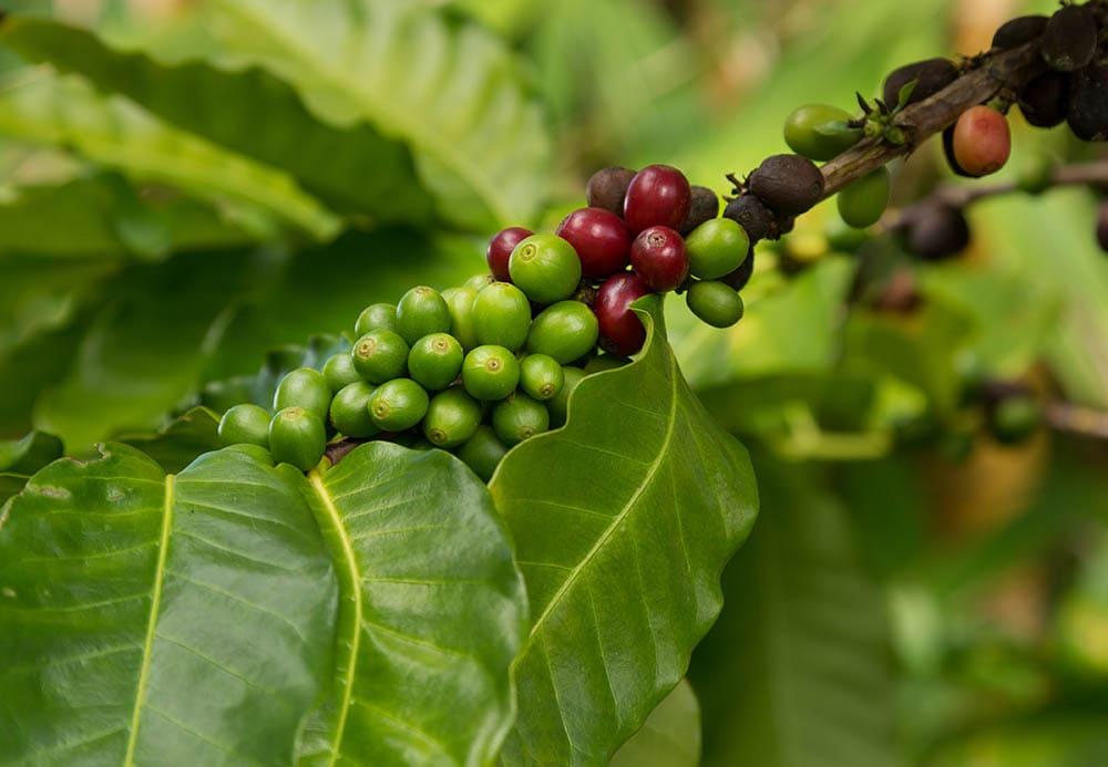 قهوه هاوایی Kona
