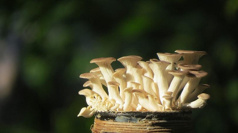oyster mushrooms in a bottle